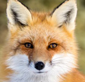 MrFox